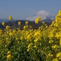写真: 菜の花と富士山3!140102
