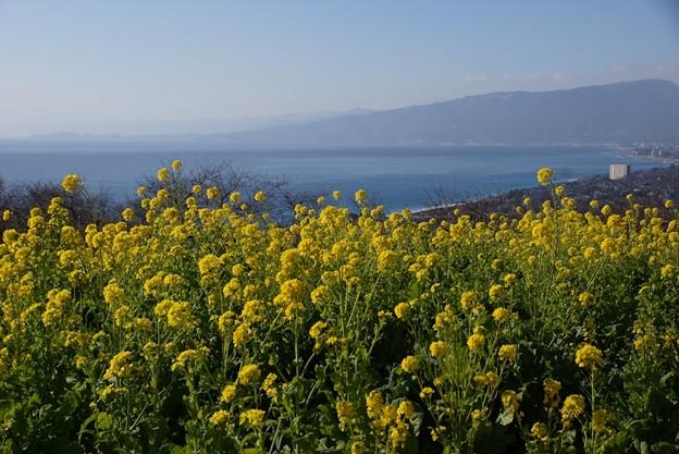 相模湾と菜の花!140102