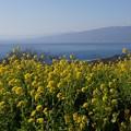 写真: 相模湾と菜の花!140102