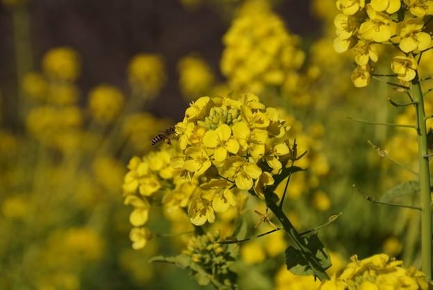 ミツバチと菜の花!140102