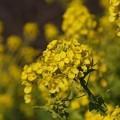 写真: ミツバチと菜の花!140102
