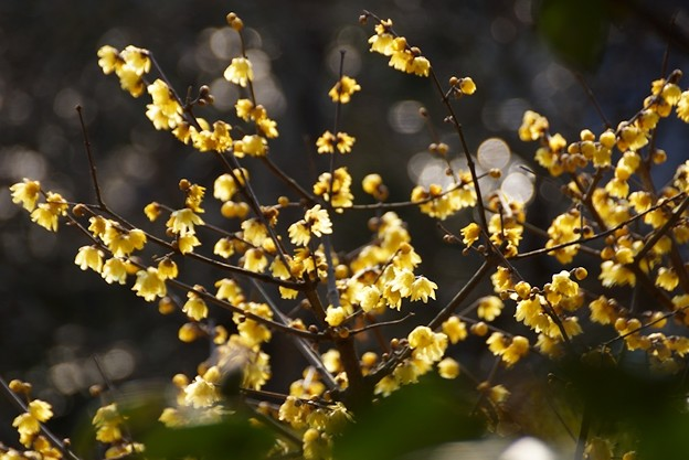 写真: 輝くロウバイの花!140118