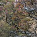 写真: 寒紅梅の枝ぶり、東慶寺!140201