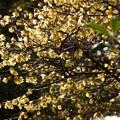 写真: ロウバイが満開、北鎌倉!140201