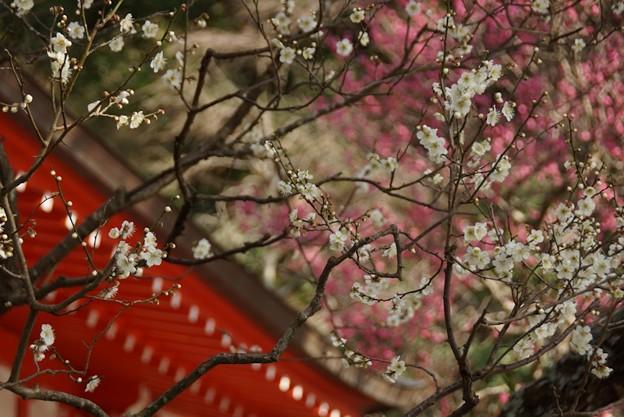 紅白の梅、荏柄天神社!140201