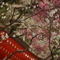 写真: 紅白の梅、荏柄天神社!140201