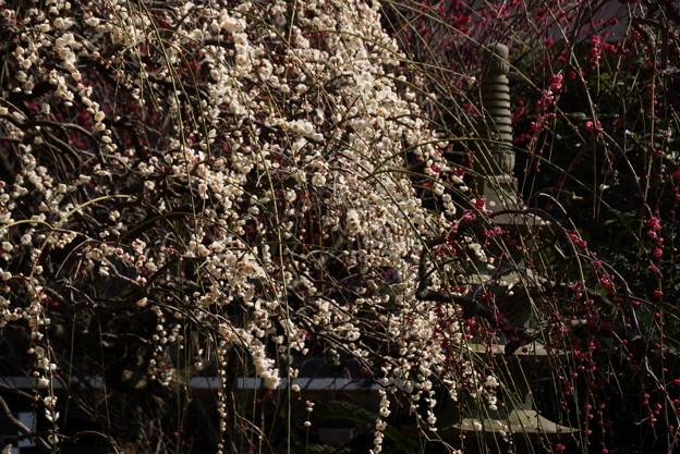 写真: 枝垂れ梅と多重塔!140222