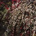 写真: 枝垂れ梅がきれい、常立寺!140222