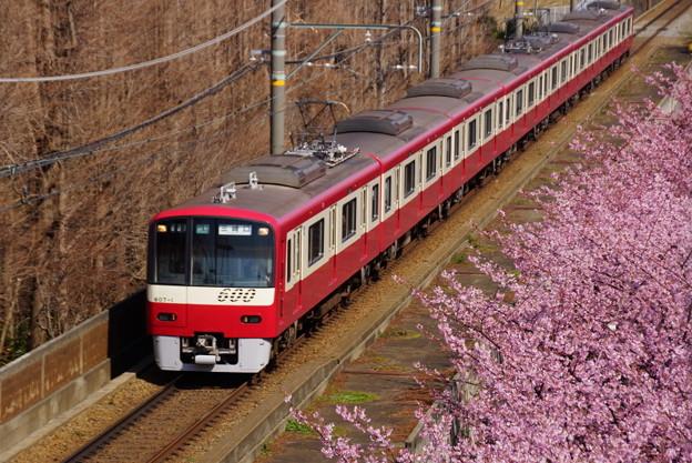 写真: 河津桜と赤い京急電車!140304