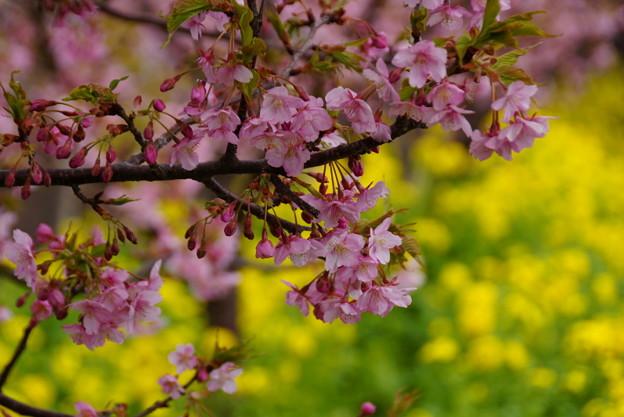 菜の花と河津桜2!140304