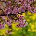 Photos: 菜の花と河津桜2!140304