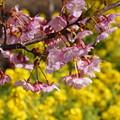河津桜と菜の花3!140304