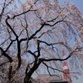写真: 満開に枝垂れ桜が彩るタワー!
