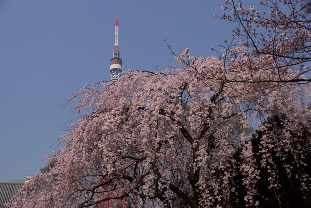 枝垂れ桜とタワー2!