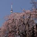 写真: 枝垂れ桜とタワー2!