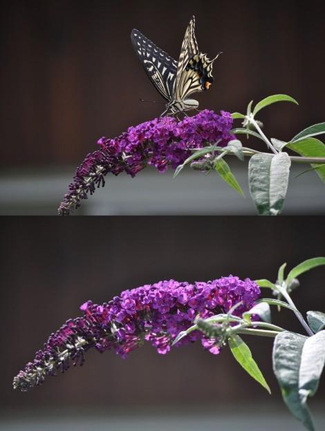 ブッドレアに蝶が~♪