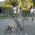 桜の切り株