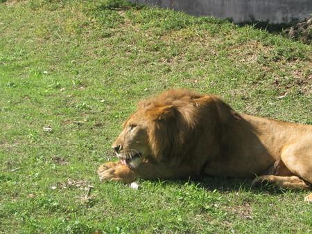 ライオン・3