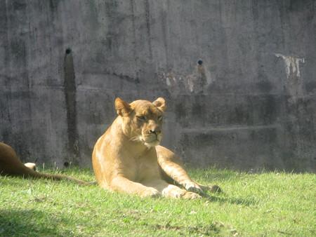 ライオン・4