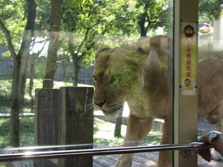 ライオン・5