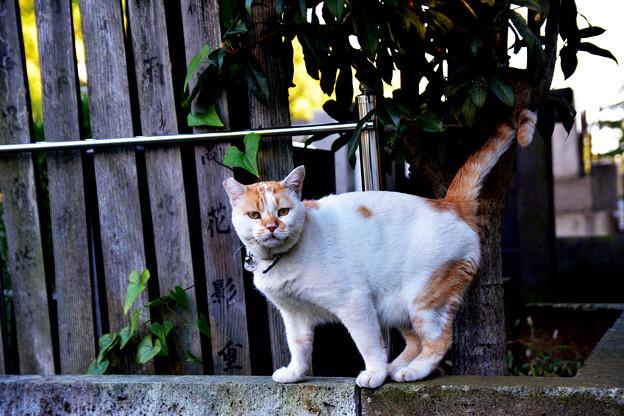 谷中墓地の猫