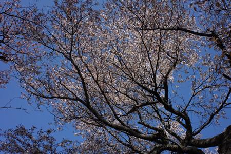 三多気の桜 - 01