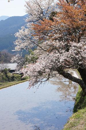 三多気の桜 - 11