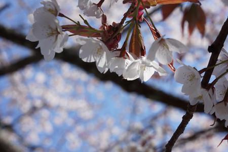 三多気の桜 - 13