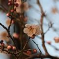 後楽園の梅