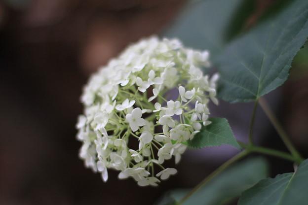 Photos: 白い紫陽花