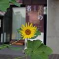 博物館の向日葵