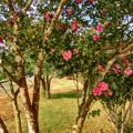 吉備路の花