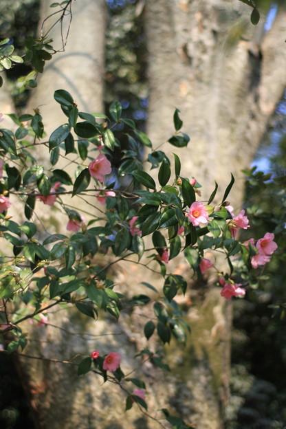 Photos: 御庭の椿