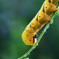 クロメンガタスズメ 20120914 幼虫-02