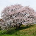 杣之内の桜