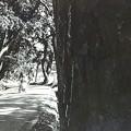 写真: 御油の松並樹を撮影したんだが、記録のみ