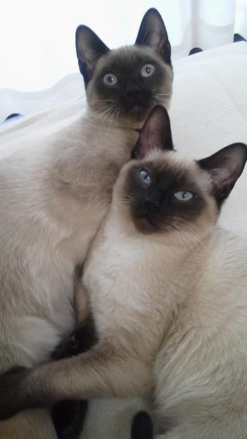 双子…(一卵性猫)