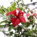 Photos: 南国の花4-5