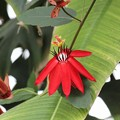 Photos: 南国の花5-1