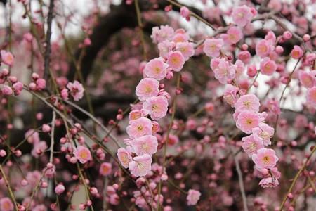 梅の花ー5