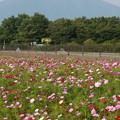 130809-1コスモスと富士山