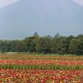 130809-2百日草と富士山