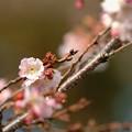 写真: 四季桜 ピンク