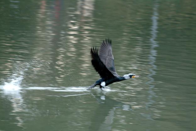 Photos: 海鵜、飛び立つ