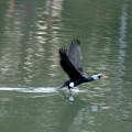 写真: 海鵜、飛び立つ
