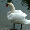 Photos: 名古屋城のお堀の白鳥