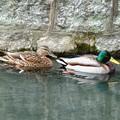 Photos: 鴨の夫婦