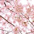写真: sakura01