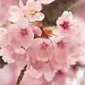 写真: 桜の花01