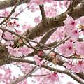写真: 桜の花03